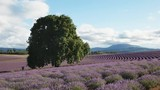 afternoon view of an old oak tree and rows of flowering lavender at a farm in tasmania, australia - 191816710