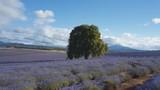 afternoon pan of rows of flowering lavender in north east tasmania, australia - 191818301