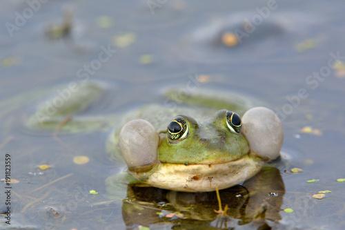 Fotobehang Kikker Edible Frog on Water