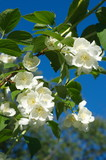 Blooming Jasmine (lat. Philadelphia) closeup - 191823754