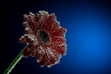 Macro photo of gerbera flower in the mineral water that bubbles covered petals - 191824353