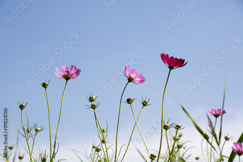 Fotobehang Tulpen The beautiful cosmos in the field