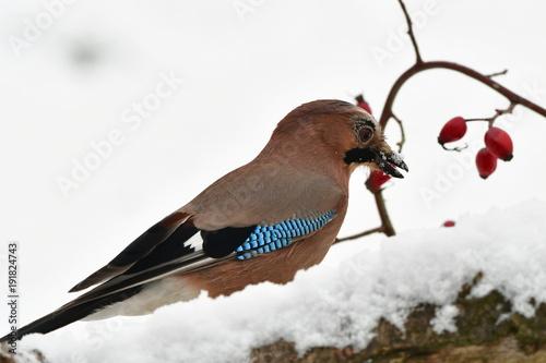 jay bird in winter time