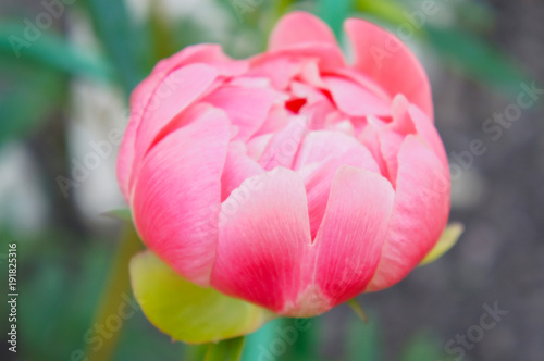 Paeonia lactiflora coral charm pink peony flower head