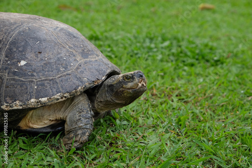 Fotobehang Schildpad Big turtle on the green grass