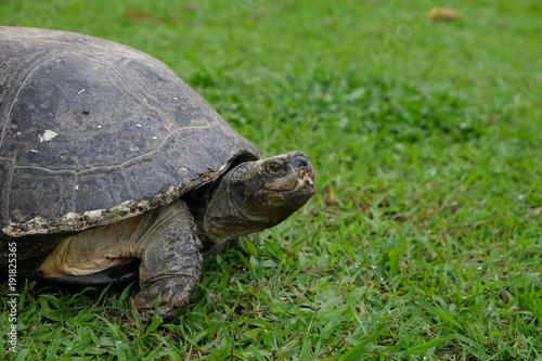 Aluminium Schildpad Big turtle on the green grass