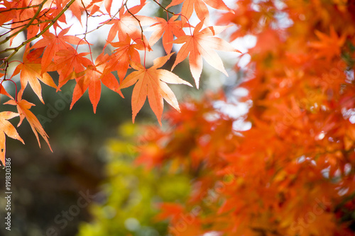 Red maple leaves in autumn season - 191830386