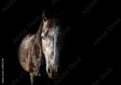 close portrait of gray brown horse on a black background