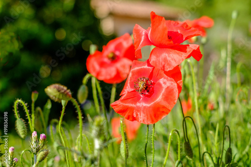 Foto op Plexiglas Klaprozen Des coquelicots au printemps, gros plan.