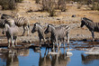 Wilde Zebras in der Savanne von Namibia Süd Afrika