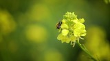 Bee collects nectar from mustard rapeseed flower slow motion. - 191843318