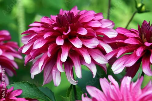 fioletowa-dalia,-kwiat