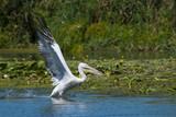 Dalmatian Pelican taking off - 191863941