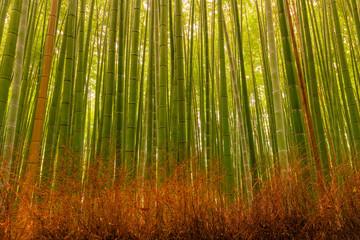 Bambushain im Herbst, Kyoto, Japan.