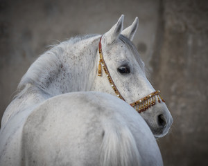 Gray arabian horse look back isolated on light background