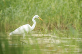 Great egret Ardea alba waterfowl hunting in wetlands - 191878773