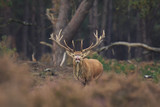 Red deer stag Cervus elaphus rutting in a forest during Autumn season