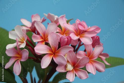 Fotobehang Plumeria Plumeria Bouquet