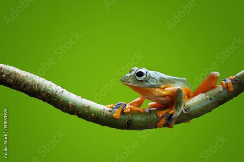 Fotobehang Kikker Flying Frog Wallace