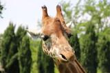 Giraffe Nahaufnahme - 191885356
