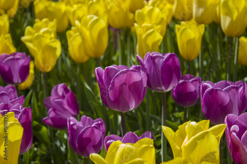 Fotobehang Tulpen Yellow and purple tulips