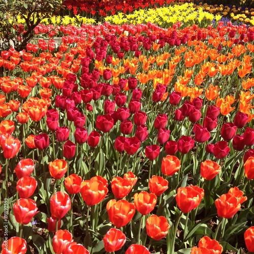 Fotobehang Tulpen Tulips