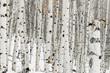 Winter snow covered Aspen forest floor