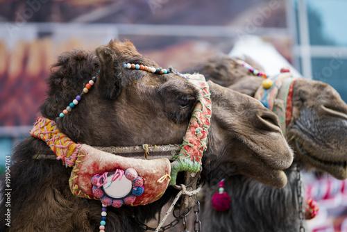 Aluminium Kameel Tek hörgüçlü deve