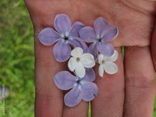 lilac in hand