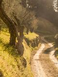 Italia, Toscana,strada di campagna con alberi.