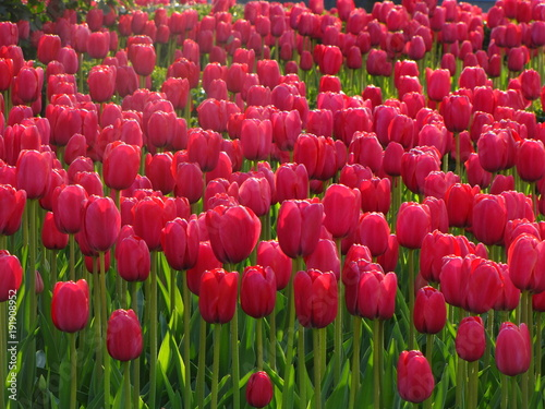 Fotobehang Tulpen Many red tulips