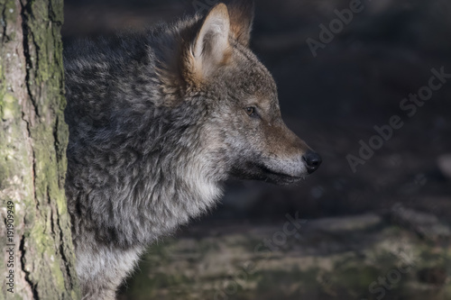 Aluminium Wolf gray wolf, Canis lupus, portrait of head, adult, young.