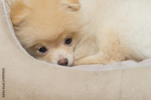Foto Murales Pomeranian Spitz in dog bed