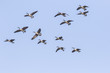 canada geese migration
