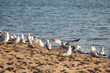 A colony of Ring-Billed Gulls on a sandy beach