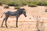 Grevys zebra in Samburu Kenya - 191920390