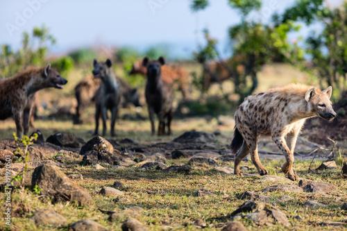 Fotobehang Natuur Hyenas in Africa