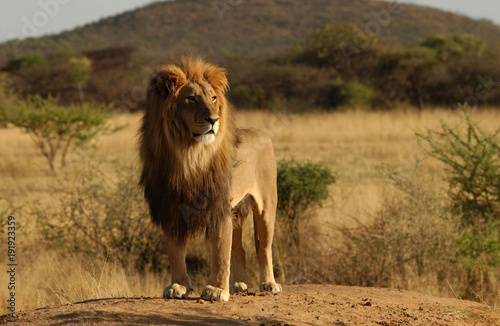 Fotobehang Lion Nature