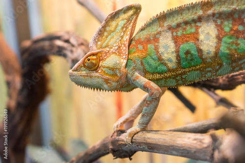 Aluminium Kameleon chameleon on branch