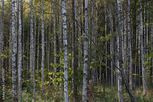 Birch forest. Patterns and backgroun in nature.