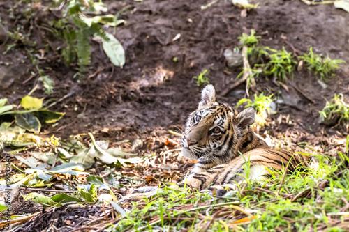 Fotobehang Tijger Authoritative Sumatran Tiger