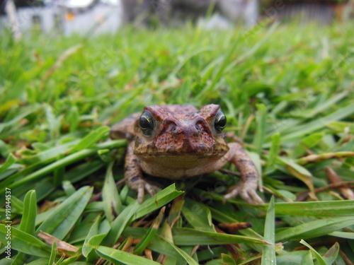 Fotobehang Kikker Sapo tranquilamente parado na grama do jardim