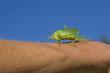 Grünes Heupferd auf einer Hand