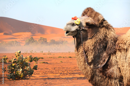 Foto op Canvas Marokko Camel in Sahara desert, Morocco