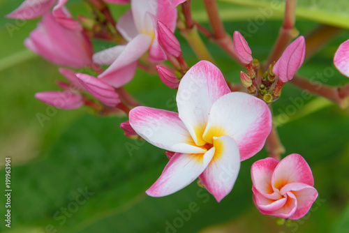Aluminium Plumeria plumeria flower blooming on tree - flower color white, pink and yellow, spa flower