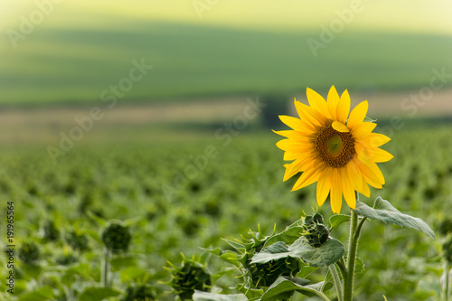 Fototapeta Sunflower field
