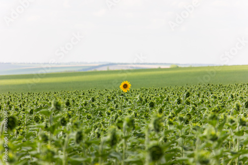 Fotobehang Lente Sunflower field