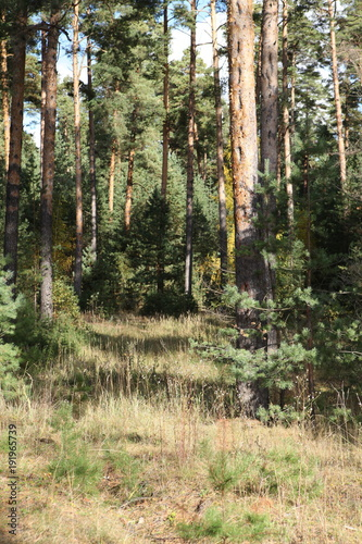 Fotobehang Khaki Pine forest on a sunny day