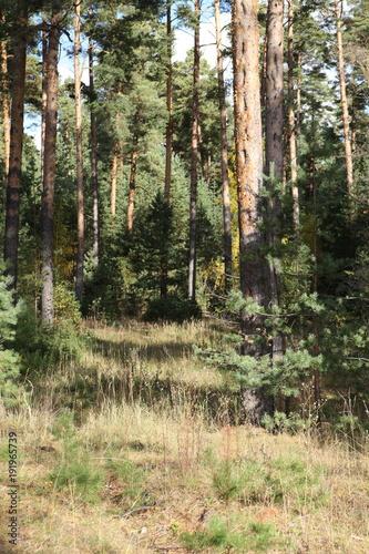 Foto op Plexiglas Khaki Pine forest on a sunny day