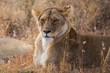 Löwin beim Ausruhen (Panthera leo)